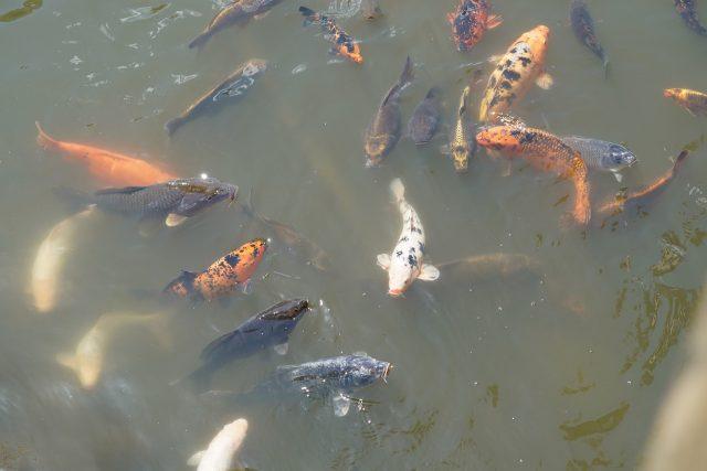 Qualité de l'eau du bassin à Koi