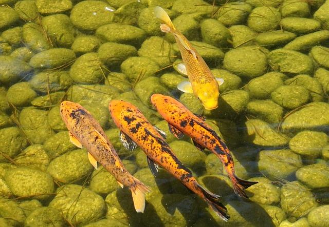 Poissons Koi dans le bassin d'eau